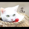 女優猫のあなごさん密着される!猫侍「玉之丞」テレビ出演!タレント猫の大スターが可