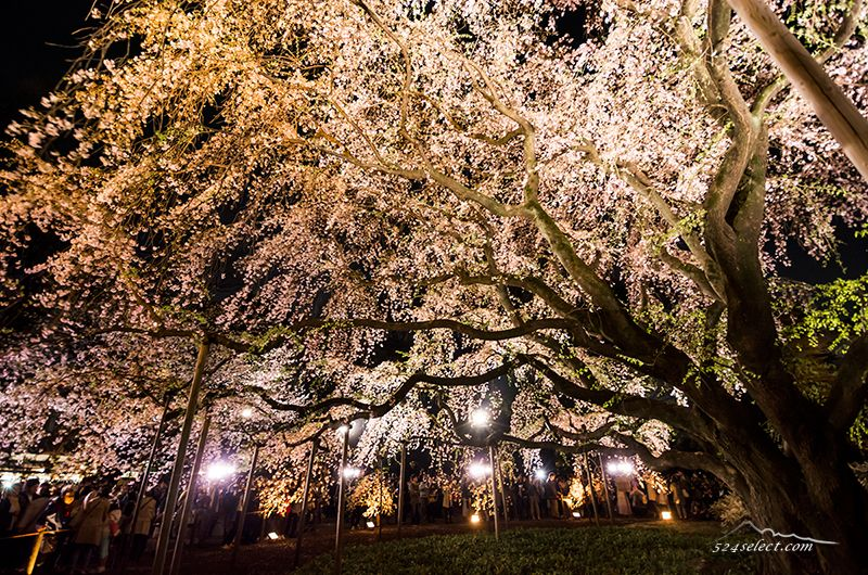 2016年東京関東圏桜の見頃はいつ頃?しだれ桜や夜桜を!開花予報で満開の花見を楽しもう